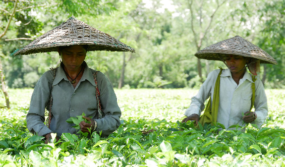 A visit to the Jalinga Tea Garden, Assam, North India